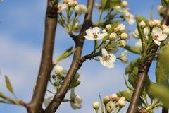 Άνθιση δέντρων της Apple Στοκ Φωτογραφία