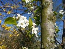 Άνθιση δέντρων της Apple Στοκ εικόνες με δικαίωμα ελεύθερης χρήσης