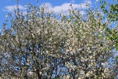Άνθιση δέντρων της Apple Στοκ Εικόνες