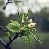 Άνθιση δέντρων της Apple cesky άνοιξη εποχής κληρονομιάς κάστρων krumlov στον κόσμο όψης ηλικίας φωτογραφία Στοκ εικόνες με δικαίωμα ελεύθερης χρήσης