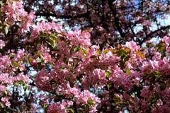 Άνθιση δέντρων της Apple Malus Niedzwetzkyana Κλάδοι με τα λεπτά ρόδινα λουλούδια Στοκ εικόνες με δικαίωμα ελεύθερης χρήσης