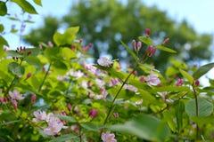 Άνθιση αγιοκλημάτων Λεπτοί κλαδίσκοι με τα όμορφους λουλούδια και τους οφθαλμούς Στοκ Εικόνες