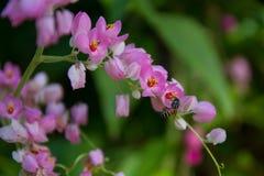 Άνθιση αμπέλων κοραλλιών και απορροφώντας νέκταρ μελισσών Στοκ φωτογραφίες με δικαίωμα ελεύθερης χρήσης