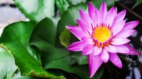 Άνθιση ανθών Lotus ή λουλουδιών κρίνων νερού Στοκ Φωτογραφία