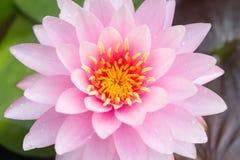 Άνθιση ανθών Lotus ή λουλουδιών κρίνων νερού Στοκ Εικόνες