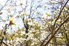 Άνθιση ανθών Magnolia υπέροχα Ο ήλιος λάμπει Ο ουρανός είναι μπλε Η άνοιξη ήρθε Φυσικό υπόβαθρο φωτογραφιών στοκ εικόνα