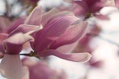 Άνθιση ανθών Magnolia στοκ εικόνα