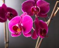 Άνθιση βοτανικής φύσης orchidea λουλουδιών Στοκ εικόνες με δικαίωμα ελεύθερης χρήσης