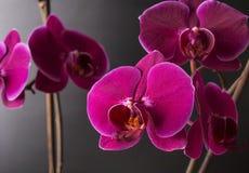 Άνθιση βοτανικής φύσης orchidea λουλουδιών Στοκ Φωτογραφίες