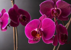 Άνθιση βοτανικής φύσης orchidea λουλουδιών Στοκ Εικόνες