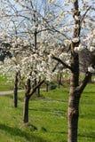 Άνθιση δέντρων της Apple στη νότια Γερμανία Στοκ φωτογραφίες με δικαίωμα ελεύθερης χρήσης