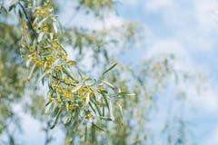 Άνθιση δέντρων angustifolia Elaeagnus Στοκ εικόνα με δικαίωμα ελεύθερης χρήσης