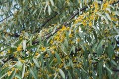 Άνθιση δέντρων angustifolia Elaeagnus Στοκ φωτογραφία με δικαίωμα ελεύθερης χρήσης