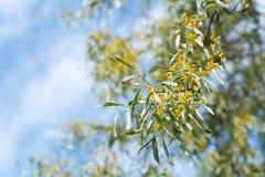 Άνθιση δέντρων angustifolia Elaeagnus Στοκ εικόνες με δικαίωμα ελεύθερης χρήσης