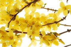 άνθιση κίτρινη στοκ φωτογραφία με δικαίωμα ελεύθερης χρήσης