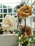 Άνθιση και καταβεβλημένα λουλούδια Στοκ Εικόνες