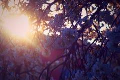 Άνθιση και φως του ήλιου Sakura Στοκ εικόνες με δικαίωμα ελεύθερης χρήσης