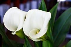 Άνθιση κρίνων της Calla στοκ εικόνες με δικαίωμα ελεύθερης χρήσης