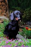 Άνθιση λουλουδιών θερινών κήπων σκυλιών Dachshund Στοκ Φωτογραφία