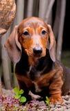 Άνθιση λουλουδιών θερινών κήπων σκυλιών Dachshund Στοκ Εικόνες