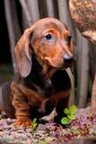 Άνθιση λουλουδιών θερινών κήπων σκυλιών Dachshund Στοκ φωτογραφίες με δικαίωμα ελεύθερης χρήσης