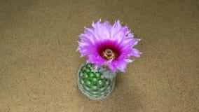 Άνθιση λουλουδιών κάκτων φιλμ μικρού μήκους
