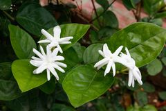 Άνθιση λουλουδιών της Jasmine στον κήπο στοκ εικόνες με δικαίωμα ελεύθερης χρήσης