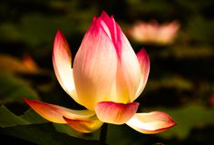 Άνθιση λουλουδιών Lotus στα έλη στοκ εικόνες