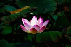 Άνθιση λουλουδιών Lotus στα έλη στοκ φωτογραφία με δικαίωμα ελεύθερης χρήσης