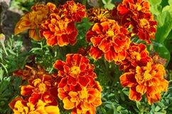 Άνθιση λουλουδιών patula Tagetes στον κήπο μια ηλιόλουστη ημέρα στοκ εικόνες με δικαίωμα ελεύθερης χρήσης