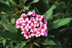 Άνθιση λουλουδιών Plumeria Στοκ Εικόνες