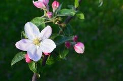 άνθιση μήλων Στοκ Εικόνες