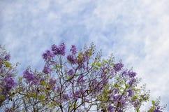 Άνθιση με τους πορφυρούς κλάδους δέντρων λουλουδιών ενάντια στο μπλε-λευκό SK Στοκ Εικόνες