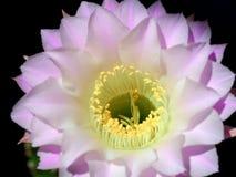 Άνθιση νύχτας του κάκτου Echinopsis Eyriesil Στοκ φωτογραφία με δικαίωμα ελεύθερης χρήσης