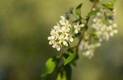 Άνθιση λουλουδιών αχλαδιών Στοκ Εικόνες