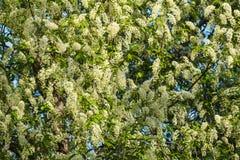 Άνθιση λουλουδιών αχλαδιών Στοκ εικόνες με δικαίωμα ελεύθερης χρήσης