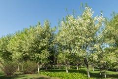 Άνθιση λουλουδιών αχλαδιών Στοκ φωτογραφίες με δικαίωμα ελεύθερης χρήσης