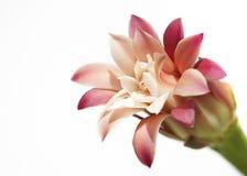 Άνθιση λουλουδιών κάκτων που απομονώνεται στο λευκό Στοκ εικόνα με δικαίωμα ελεύθερης χρήσης