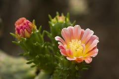 Άνθιση λουλουδιών κάκτων Στοκ εικόνα με δικαίωμα ελεύθερης χρήσης