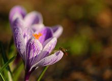 Άνθιση λουλουδιών κρόκων στον τομέα Στοκ φωτογραφία με δικαίωμα ελεύθερης χρήσης