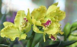Άνθιση λουλουδιών ορχιδεών Aphyllum Dendrobium την άνοιξη Στοκ Εικόνες