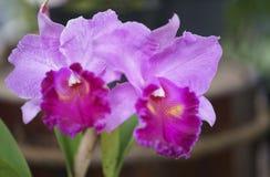 Άνθιση λουλουδιών ορχιδεών Aphyllum Dendrobium την άνοιξη Στοκ φωτογραφίες με δικαίωμα ελεύθερης χρήσης