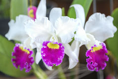 Άνθιση λουλουδιών ορχιδεών Aphyllum Dendrobium την άνοιξη Στοκ Φωτογραφίες