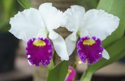 Άνθιση λουλουδιών ορχιδεών Aphyllum Dendrobium την άνοιξη Στοκ εικόνες με δικαίωμα ελεύθερης χρήσης