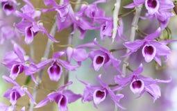 Άνθιση λουλουδιών ορχιδεών Aphyllum Dendrobium την άνοιξη Στοκ εικόνα με δικαίωμα ελεύθερης χρήσης
