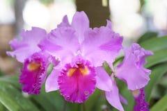 Άνθιση λουλουδιών ορχιδεών Aphyllum Dendrobium την άνοιξη Στοκ φωτογραφία με δικαίωμα ελεύθερης χρήσης