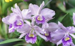 Άνθιση λουλουδιών ορχιδεών Aphyllum Dendrobium την άνοιξη Στοκ Εικόνα