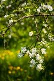 Άνθιση λουλουδιών της Apple στενό λευκό τουλιπών κόκκινων ανοίξεων κήπων λουλουδιών κερασιών επάνω Στοκ φωτογραφία με δικαίωμα ελεύθερης χρήσης