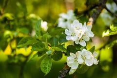 Άνθιση λουλουδιών της Apple στενό λευκό τουλιπών κόκκινων ανοίξεων κήπων λουλουδιών κερασιών επάνω Στοκ Εικόνες