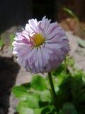 Άνθιση λουλουδιών της Daisy στον κήπο Στοκ φωτογραφία με δικαίωμα ελεύθερης χρήσης